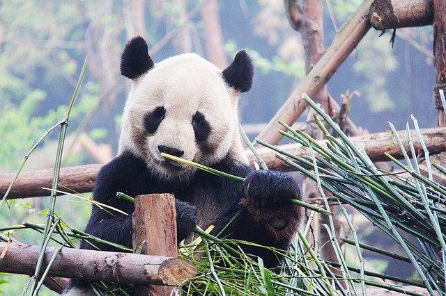 panda v trávě