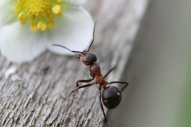 mravenec u květu