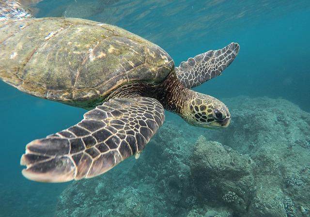 velká želva