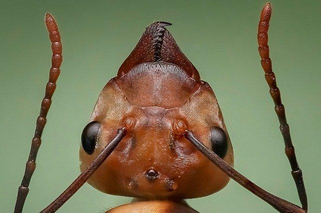 hlava mravence