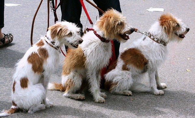 tři psi při venčení