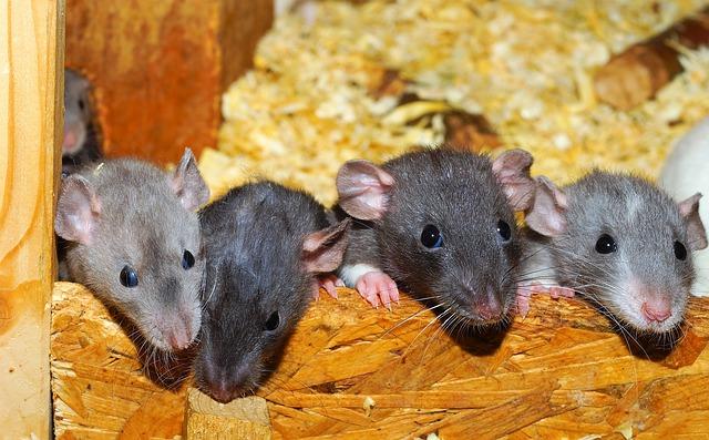 čtyři potkani